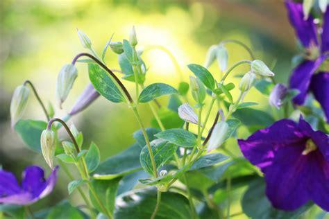 schnell rankende pflanzen rankpflanzen f 252 r den balkon 10 schnell rankende balkonpflanzen hausgarten net