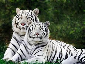 Bengal Tiger - Facts, Pictures, Habitat, Information, Diet ...