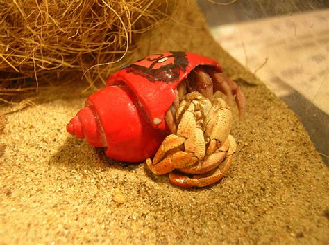Do Hermit Crabs Shed Shell by Rattlesnake Molting Now He Did A Surface Molt All By