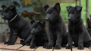 7 Things You Didn't Know About The Black German Shepherd ...