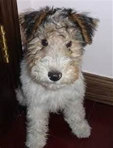 Potential Puppy - Wire Hair Fox Terrier | My Style ...
