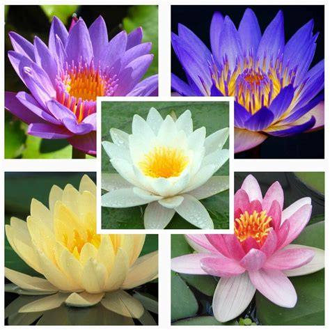 water lily mix nymphaeaceae 10 seeds fresh seeds not