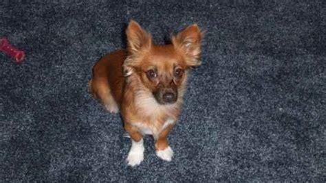 pomerat pomeranian  rat terrier mix dog info