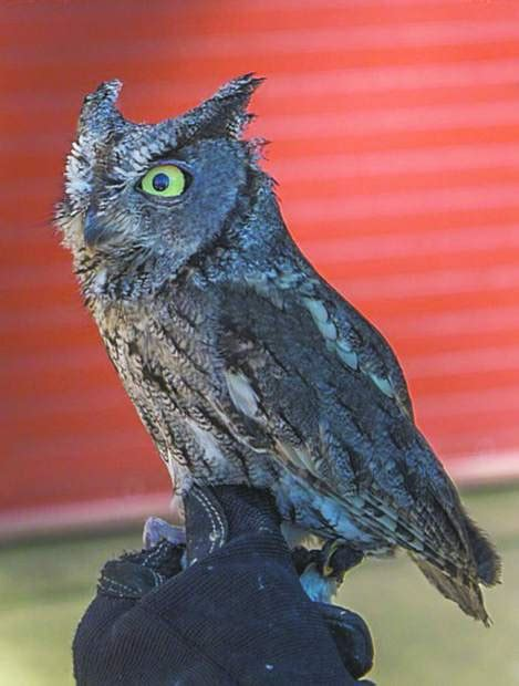 wild birds unlimited hosts owl be home for christmas