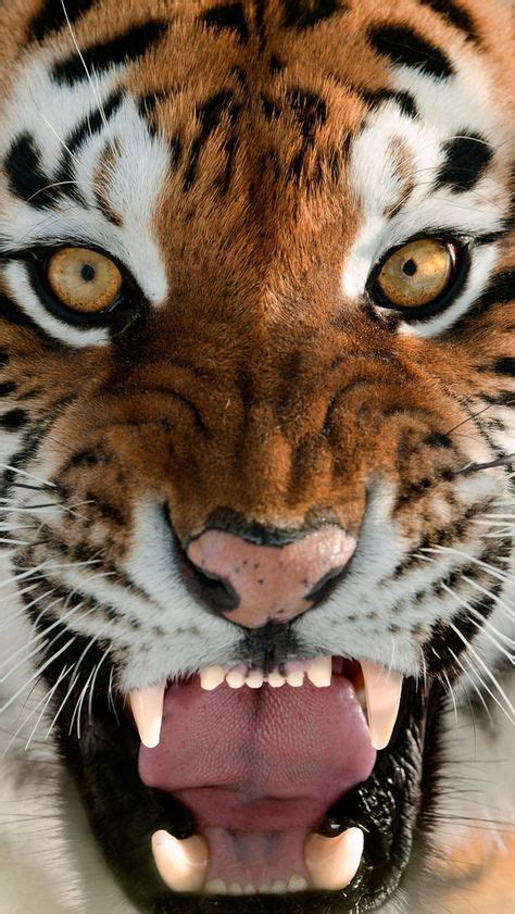 beautiful golden eyes lions tigers tiger