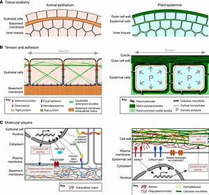 Wiring Diagram Database  Onion Epidermal Cell Labeled Diagram