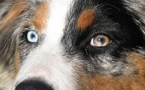 Brown And White Dog With Blue Eyes | www.pixshark.com ...
