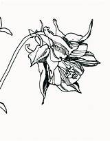 Columbine Flower Drawing Botanical Floral Clipartmag sketch template