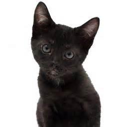 black cat breeds black cat breeds paperblog