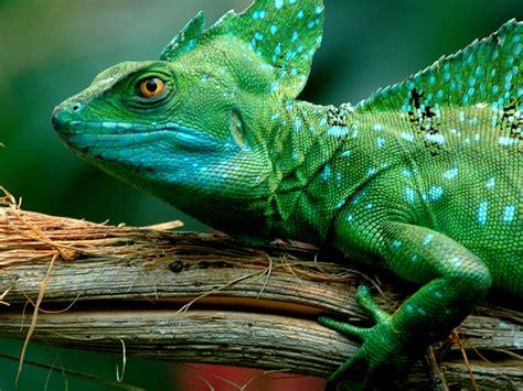 animals green basilisk lizarddesktop wallpaper full