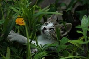 how to repel cats cat deterrent plants primrose