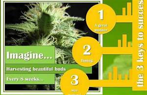 The Easy  U0026quot How To U0026quot  Continuous Cycle Cannabis Grows