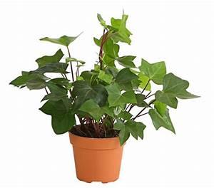 Efeu Pflanzen Kaufen : efeu 39 mont gommery 39 dehner garten center ~ Michelbontemps.com Haus und Dekorationen