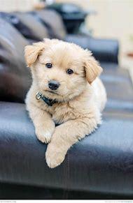Fluffy Cute Golden Retriever Puppies