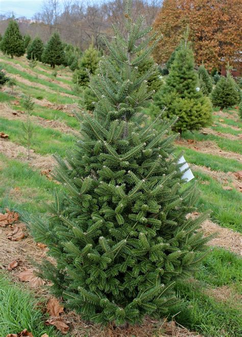 most fragrant christmas tree photo albums fabulous homes