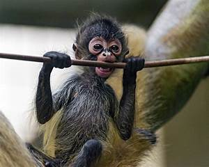Cute spider monkey baby and rope   Again, the cute spider ...