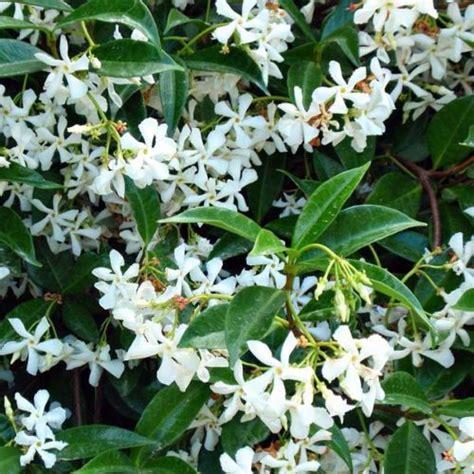 Trachelospermum Jasminoides  Clarenbridge Garden Centre