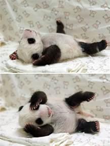 Cute Baby Panda Sleeping