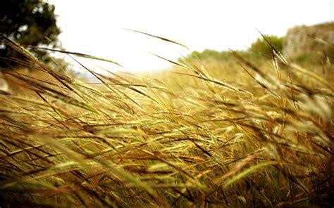 wheat wallpapers hd desktop wallpapers  hd