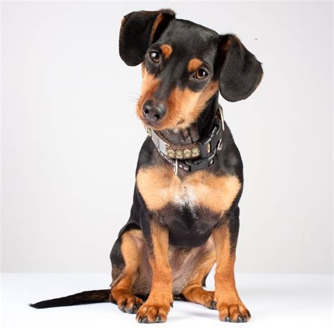 quot dachshund min pin mix quot search miniature pinscher dogs mixes babies