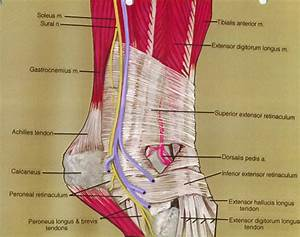 soleus muscle; sural nerve; gastrocnemius muscle; Achil ...