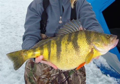perch idaho record yellow fishing fish sunfish mouth ice ices sets kboi fisherman panfish catch staff web