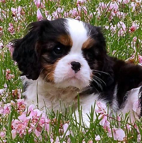 Cavalier King Charles Spaniel as a Puppy