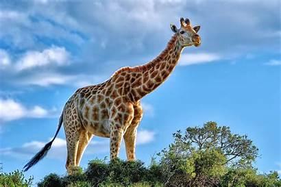 Giraffe Wallpapers Animals 4k Backgrounds