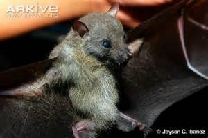 White Collared Fruit Bat