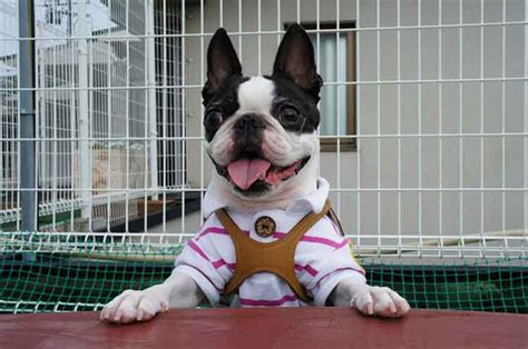 boston terrier shedding how to handle boston terrier shedding problems