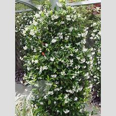 Buy Star Jasmine Trachelospermum Jasminoides Delivery By