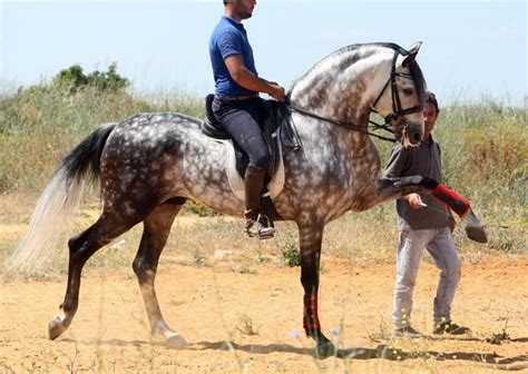 andalusian horse andalusians prestige spanish horses breeding pretty exclusive projects archive equine breeds