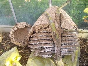 Nid De Guepe Dans La Terre : le nid de frelons asiatiques ecole sainte famille varades ~ Melissatoandfro.com Idées de Décoration