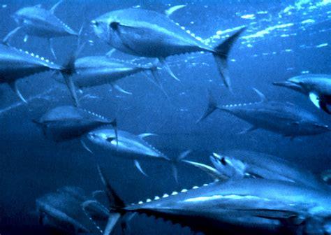 tuna fish thunnus wikipedia