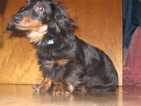 Datsun Puppies by Dogs Dachshund