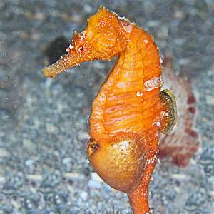 Save Our Seahorses | The Seahorse Trust