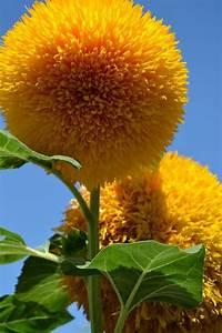 Teddy Bear Sunflowers - A Cuddly Giant Flower | Gardens ...