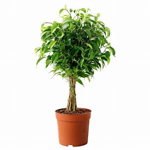 Ficus Benjamini Vermehren : ficus benjamina 39 natasja 39 potted plant weeping fig 12 cm ~ Lizthompson.info Haus und Dekorationen
