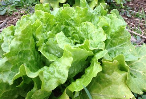 Growing Lettuce  Experience Real Flavor With A Simple