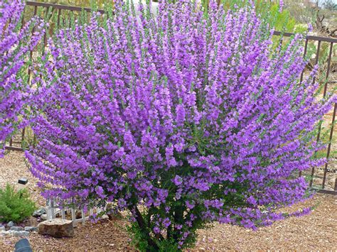 Sage Bushes With Purple Flowers Bring Life To The Desert