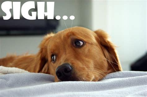 Puppy Face Meme - sad puppy dog face please