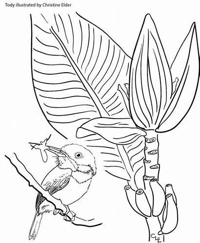 Coloring Tody Pages Caribbean Birds Jamaican Birdscaribbean