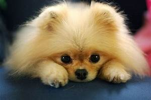 Too Cute! | Pomeranian | Pinterest