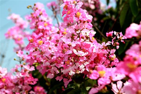 tree with pink flowers name top 28 name of tree with pink flowers spring tree pink flower blossoms colorful baslee