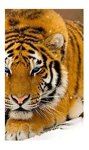 Wallpaper : animals, tiger, wildlife, big cats, whiskers ...