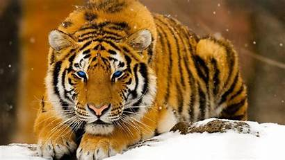 Cats Tiger Animals Desktop Wallpapers Backgrounds Mobile