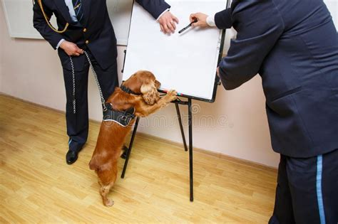 ufficio doganale cocker spaniel fotografia stock immagine di ritratto