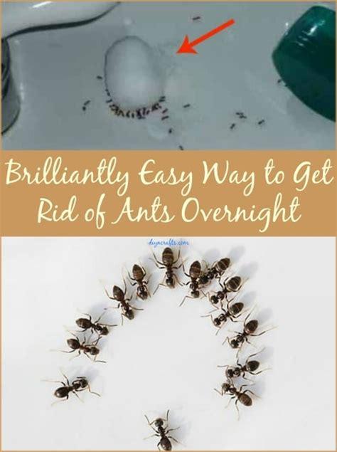 brilliantly easy    rid  ants overnight diy