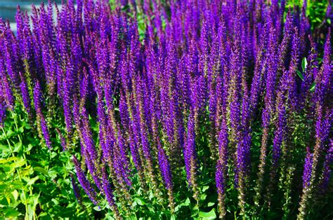 rozanne s picks for top purple perennials rozanne and