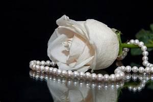 White Rose Pearl Black Background Stock Photo - Image of ...